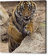 Sumatran Tiger Cub Jumping Onto Rock Canvas Print