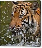 Sumatran Tiger Splashing In The Water Canvas Print