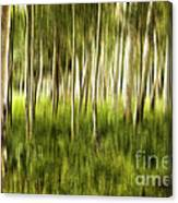 Summer Aspens Canvas Print