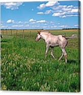 Summer Colt Canvas Print