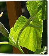 Summer Cuke Canvas Print
