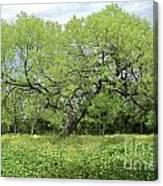 Summer Mesquite Tree Canvas Print