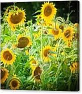 Summer Sunflowers Canvas Print