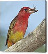 Summer Tanager Eating Wasp Canvas Print
