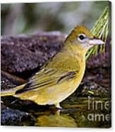 Summer Tanager Female In Water Canvas Print