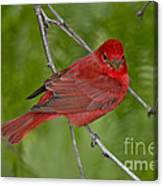 Summer Tanager Male Canvas Print