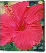 Summer's Last Hibiscus Canvas Print