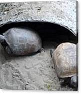 Sun Basking Turtles Canvas Print