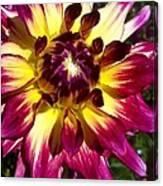 Sun Burst Purple Dahlia Canvas Print