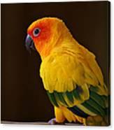Sun Conure Parrot Canvas Print