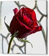 Sun Kissed Rose Canvas Print