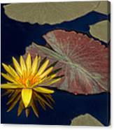 Sun-kissed Water Lily Canvas Print