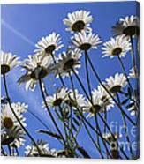 Sun Lit Daisies Canvas Print