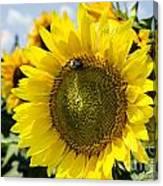 Sun On The Sunflower Canvas Print