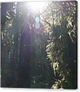 Sun Penetrates The Redwood Forest Canvas Print