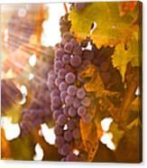 Sun Ripened Grapes Canvas Print