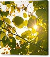 Sun Shining Through Leaves Canvas Print