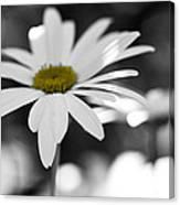 Sun-speckled Daisy Canvas Print