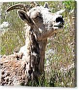 Sunbathing Mountain Sheep Canvas Print