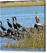 Sunbathing Cormorants  Canvas Print