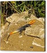 Sunbathing Lizard Canvas Print