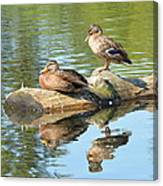 Sunbathing Mallards Reflecting Canvas Print