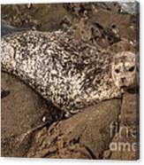 Sunbathing Sea Lion Canvas Print