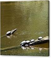 Sunbathing Turtles Canvas Print