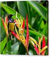 Sunbird On Heliconia Ginger Flowers Singapore Canvas Print