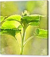 Sundrenched Sunflower - Digital Paint Canvas Print