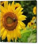 Sunflower And Bee II Canvas Print