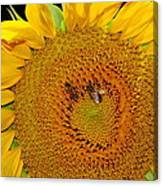 Sunflower And Bees Canvas Print