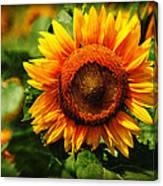Sunflower At Buttonwood Farm Canvas Print