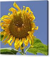 Sunflower At Latrun Canvas Print