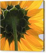 Sunflower Back Canvas Print