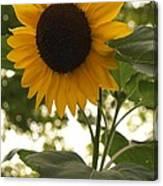Sunflower Backlighting Canvas Print