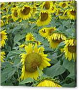 Sunflower Beauty II Canvas Print
