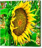 Sunflower Bloom Canvas Print