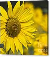 Sunflower Blossom Canvas Print