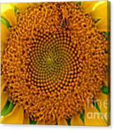 Sunflower Close-up Canvas Print