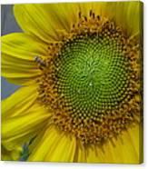 Sunflower Dew-bee Canvas Print