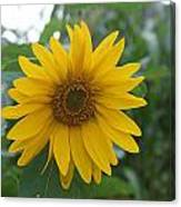 Sunflower Directly... Canvas Print