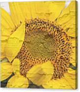 Sunflower Drying Up Canvas Print