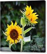 Sunflower Duo Canvas Print