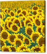 Sunflower Explosion Canvas Print