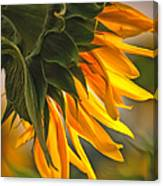 Sunflower Farm 1 Canvas Print