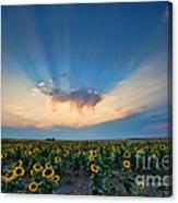 Sunflower Field At Sunset Canvas Print