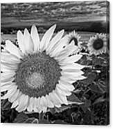 Sunflower Field Forever Bw Canvas Print