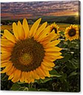 Sunflower Field Forever Canvas Print