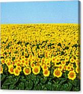 Sunflower Field, North Dakota, Usa Canvas Print